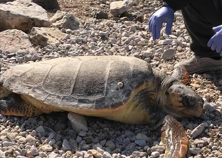 Θαλάσσια χελώνα βρέθηκε νεκρή στη Βαρέα