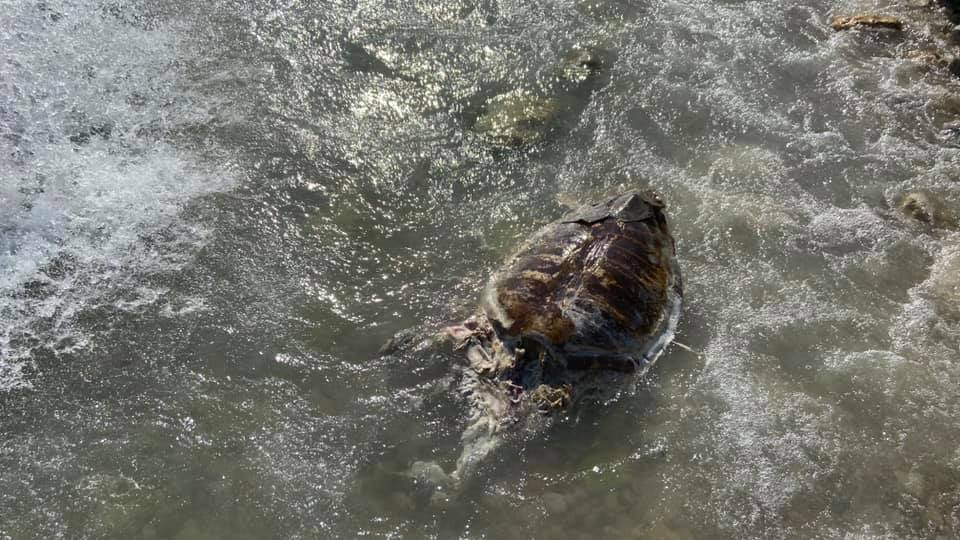 Νεκρή θαλάσσια χελώνα στη Βαρέα